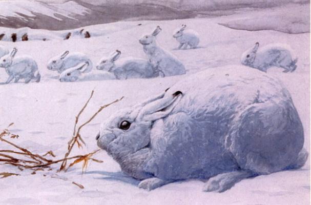 Луи Агассис. Арктический заяц