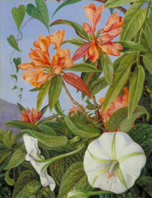 Marianna North. Ipomoea and rhododendron, Java