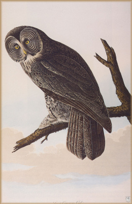 John James Audubon. Big owl