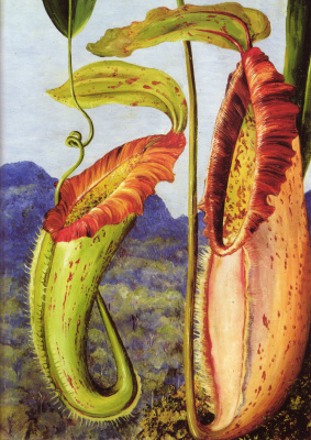 Marianna North. Flower of tropical jug Nepenthes Nortani (limestone mountains Sarawak, Borneo)