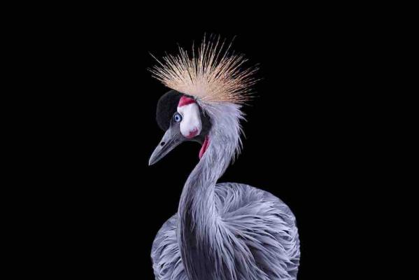 Brad Wilson. African Crowned Crane #1