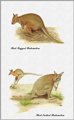 Марион Уэстмакотт. Австралийские млекопитающие 36