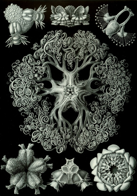 """Ernst Heinrich Haeckel. Ophiuses (Snaketails). """"The beauty of form in nature"""""""