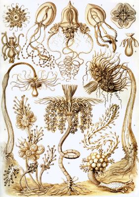 Эрнст Генрих Геккель. Антомедузы, тубулярии. «Красота форм в природе»