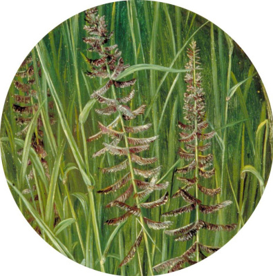 "Marianna North. Bluegrass or Kush grass. ""Sacred Grass"", India"