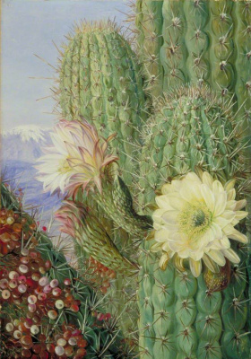 Marianna North. Chilean cacti: blooming and corroded