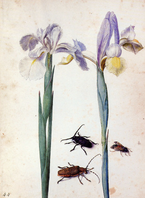 Georg Flegel. Two flowers and flies