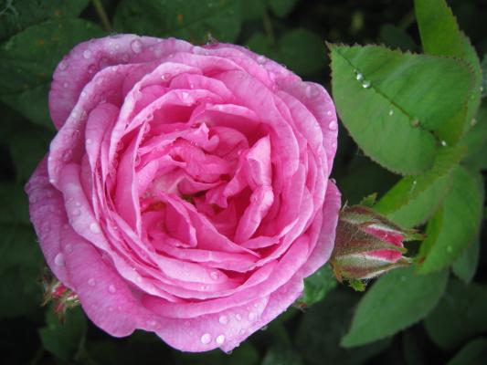 "Алексей Гришанков (Alegri). ""Rosa Rosa"""