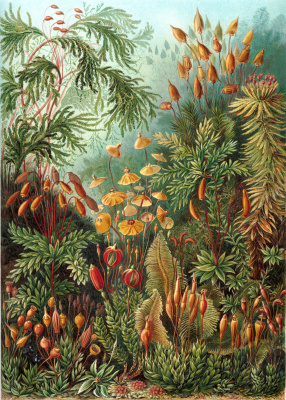 """Ernst Heinrich Haeckel. Muskinai """"The beauty of form in nature"""""""