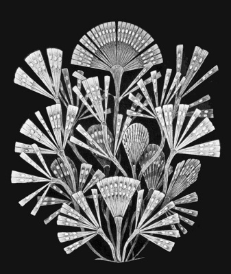 "Ernst Heinrich Haeckel. Likmofora flavellata. ""The beauty of form in nature"""
