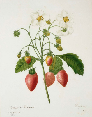 """Pierre-Joseph Redoute. A bunch of strawberries. """"Selection of the most beautiful flowers"""""""