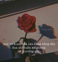 Ngoc Minh Chau. Flower rose and sad room