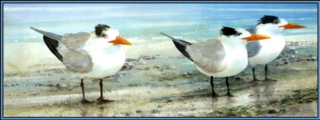 Roger Bansemer. Royal tern