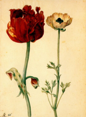 Georg Flegel. Tulip and white poppy