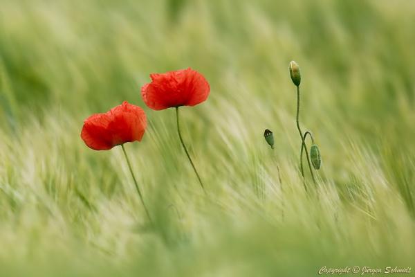 Юрген Шмидт. Poppies