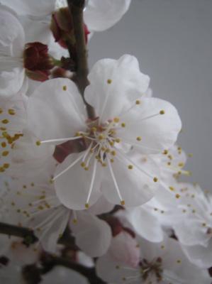 Alexey Grishankov (Alegri). April flowering