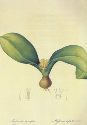 "Pierre-Joseph Redoute. Massonia Angustifolia. ""Lily"""