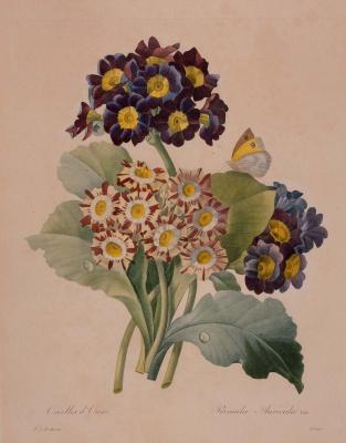"""Пьер-Жозеф Редуте. Бабочка и три соцветия примулы. """"Выбор самых красивых цветов"""""""