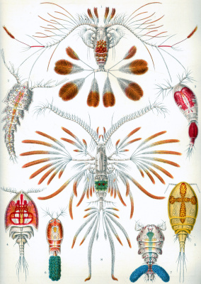 "Ernst Heinrich Haeckel. Copepods. ""The beauty of form in nature"""