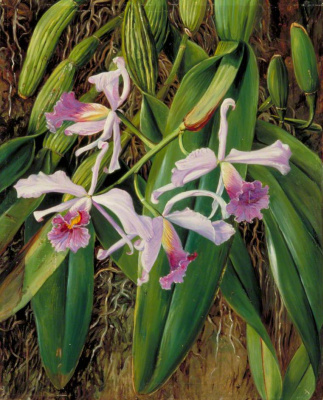 Marianna North. Brazilian Orchid