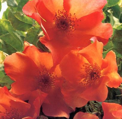 Клей Перри. Оранжевые цветы