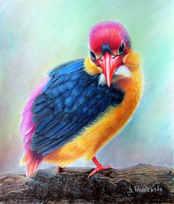 Sophie Wasilewska. Oriental Dwarf Kingfisher