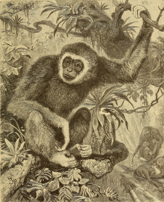 """Ernst Heinrich Haeckel. White gibbon in the jungles of India. """"Anthropology and the history of human development"""""""