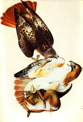 John James Audubon. Red-tailed hawk