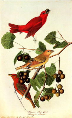 John James Audubon. Berries