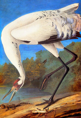 John James Audubon. Whooping cough