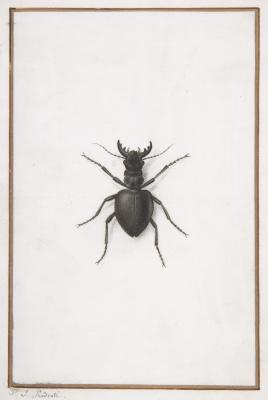 Pierre-Joseph Redoute. Deer beetle