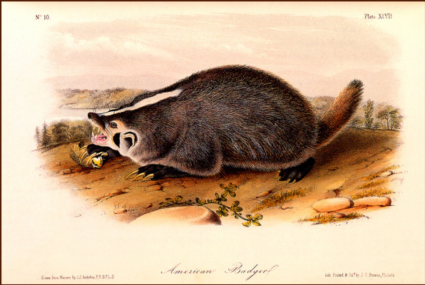 John James Audubon. American badger