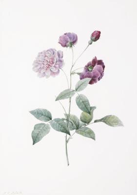 Pierre-Joseph Redoute. Rose indica