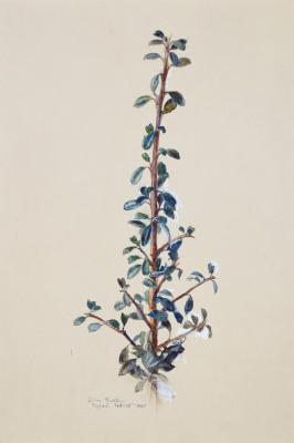 Джон Рёскин. Эскиз альпийского растения