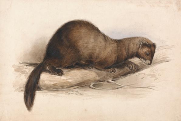 Эдвард Лир. Weasel