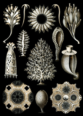 """Ernst Heinrich Haeckel. Lime sponges. """"The beauty of form in nature"""""""