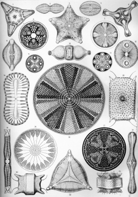"""Ernst Heinrich Haeckel. Diatoms. """"The beauty of form in nature"""""""