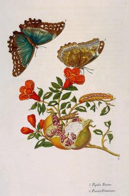 Мария Сибилла Мериан. Цветы и бабочки