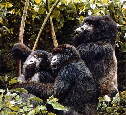 Саймон Комб. Горные гориллы