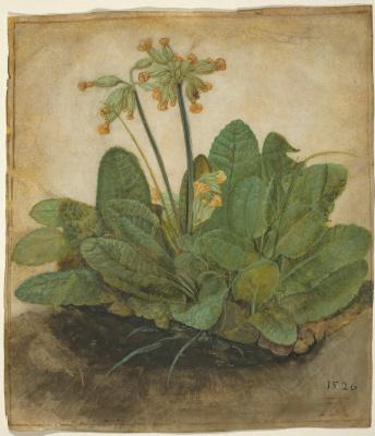 Albrecht Durer. Primula