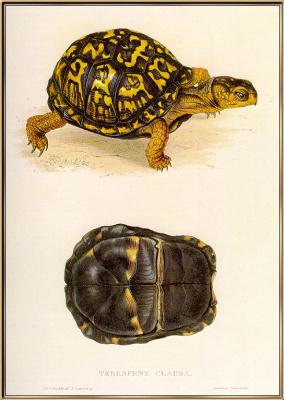 Масть. Черепаха