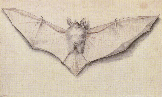 Hans Holbein The Younger. The study of the bat with outstretched wings