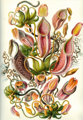 """Ernst Heinrich Haeckel. Nepentes (jugs). """"The beauty of form in nature"""""""