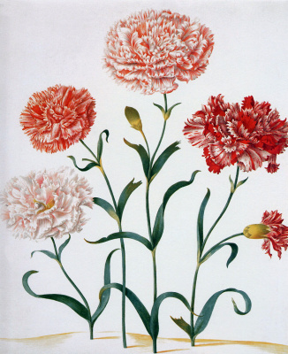 Maria Sibylla Merian. Carnation