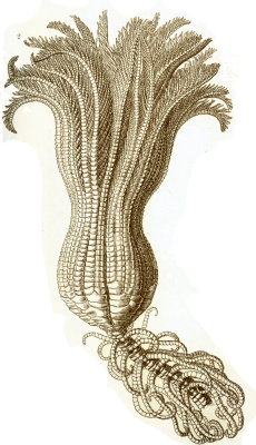 "Ernst Heinrich Haeckel. Sea lily II. ""The beauty of form in nature"""