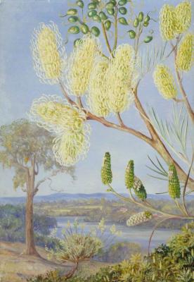 Марианна Норт. Ветка гревиллеи и вид на реку Суон, Западная Австралия