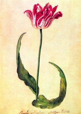 Judith Leyster. Tulip III