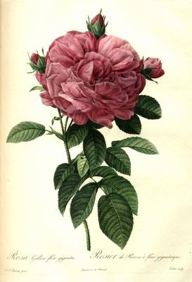 """Pierre-Joseph Redoute. Gallica is gigantic. """"Roses"""""""