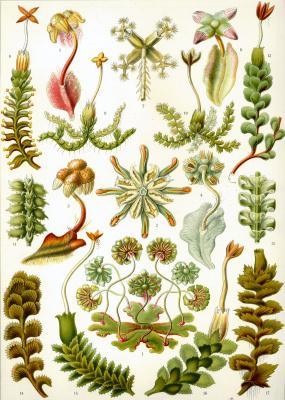 "Ernst Heinrich Haeckel. Hepatic or marshantse mosses. ""The beauty of form in nature"""