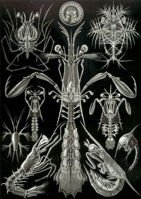 "Ernst Heinrich Haeckel. Thorakostraki ""The beauty of form in nature"""